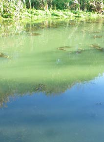 blue green algal bloom