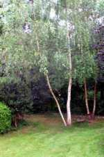 birch trees in a lawn