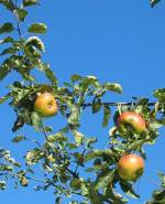 Bramley apples on tree with blue sky