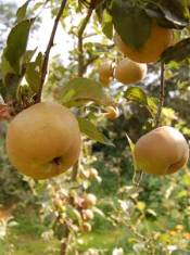 homegrown russet apples