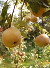 homegrown russet apples
