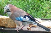jay on the bird table
