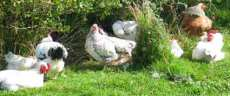 hens enjoying themselves