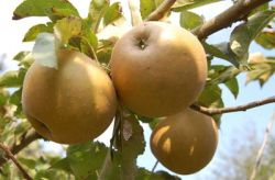 russet apples in group