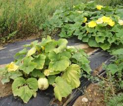 Butternut squash mulched with plastic