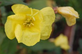 pale evening primrose flower