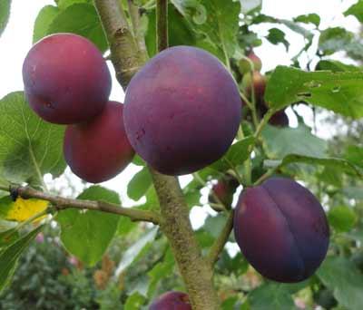Czar plums on the tree
