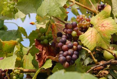 ripening grape