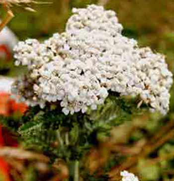 identifying weeds - achillea is a handsome plant