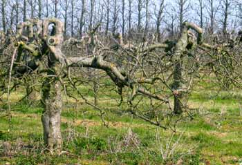 commercial apple orchard