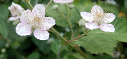 Identifying weeds: Bramble flowers are sweet