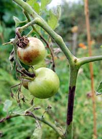 growing tomato plants - a blighted tomato plant
