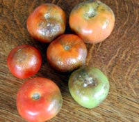 blighty tomatoes are an eyesore