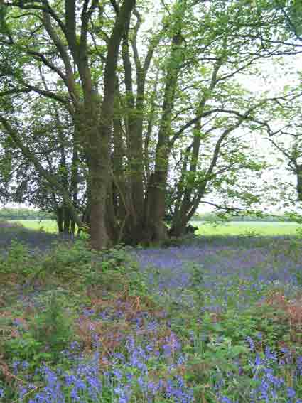 trees in a bluebell wood