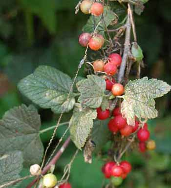 Bryony fruits entwined with a redcurrant plant