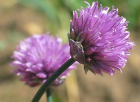salad ingredients  - chive flowers