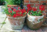 containers with geraniums