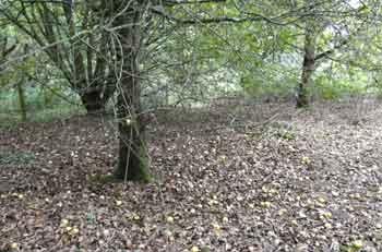 crabapple tree with fallen fruit