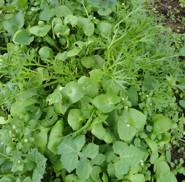 Native Edible Plants Australia: More Edible Wild Plants