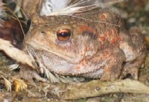 common toad in garden debris