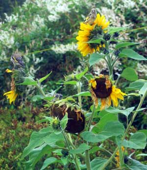 sunflowers with visiting godfinches