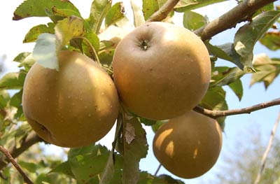 Growing apples: russets on a MM106 rootstock