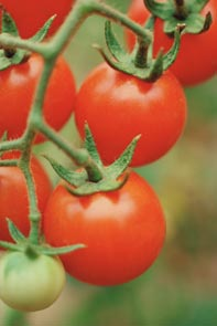 growing tomato plants - tomatoes on the vine