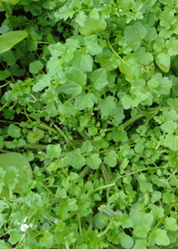 hairy bittercress - a useful weed
