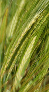 healthy cereal a close up of ripening wheat