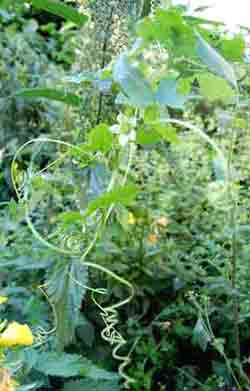 white bryony climbing a nettle