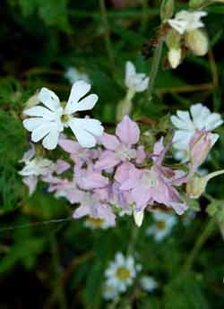Identifying weeds: white campion growing with garden flowers