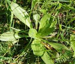 Plantago major - waybread or greater plantain