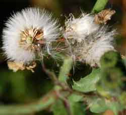 Identifying weeds: sowthistle seeds soon blow everywhere