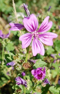 Mallow flowers - mallow leaves can be used in soup