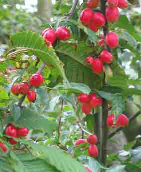 crabapple fruit