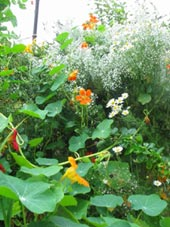 salad ingredients such as nasturtium add pepperiness