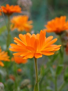 marigold or calendula