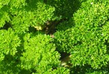 curly-leafed parsley