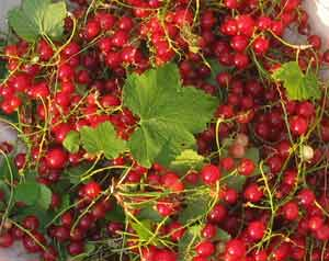 picked red currants
