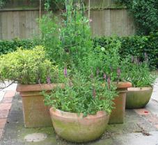 garden herbs in planters