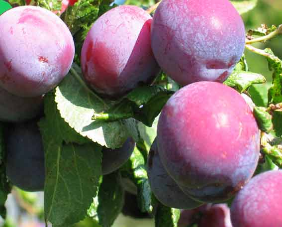 fresh plums on the tree