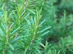 rosemary leaves 400