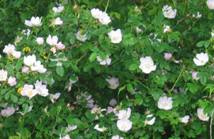 aromatherapy air freshener - wild roses in June