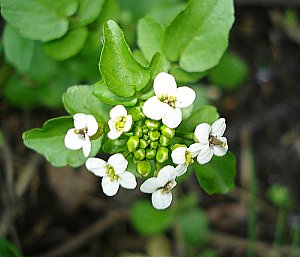 Growing watercress - the wild kind