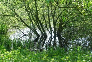 causes of water pollution - willows in water at lake margin