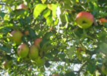 cheaper organic food - Bramley cooking apples on the tree
