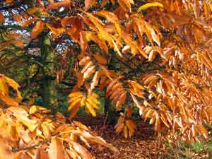 sweet chestnut leaves in autumn