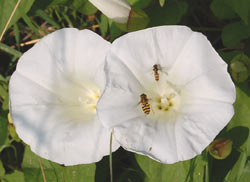 convolvulus flowers with hoverflies