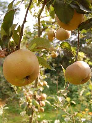 Russet apples on tree