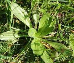 Plantago major - waybread or greater plantain